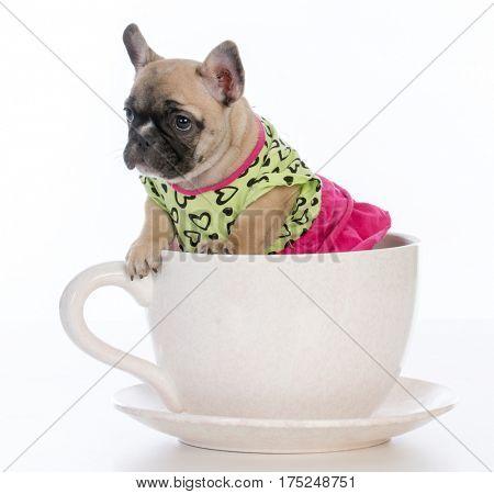 female french bulldog puppy sitting inside a teacup