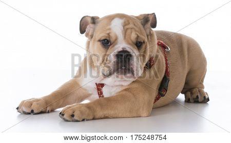 bulldog puppy laying down wearing a harness