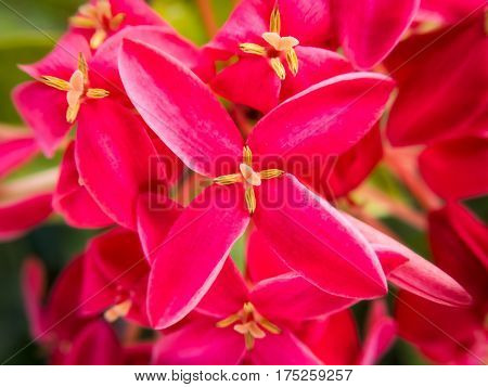 Cluster of vibrant red ixora flowers in a Jamaican garden
