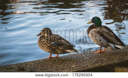 Two ducks resting along Kingston riverside during sunset.