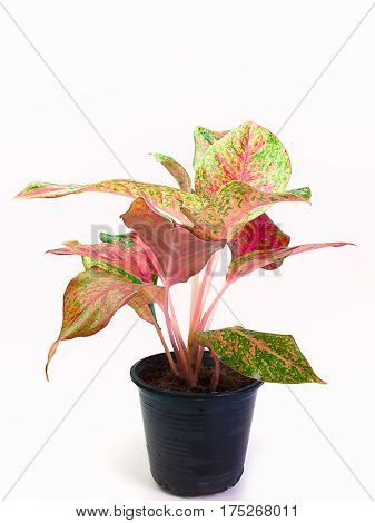 Queen of the Leafy Plants Scientific name is Caladium bicolor Ornamental plants with beautiful leaves and sacred wood.