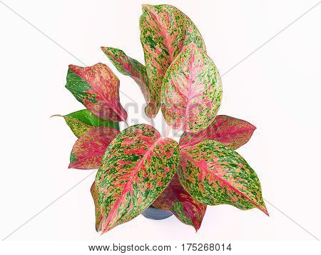 (Top view) Queen of the Leafy Plants Scientific name is Caladium bicolor Ornamental plants with beautiful leaves and sacred wood.