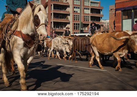 Texas Longhorn Cattle