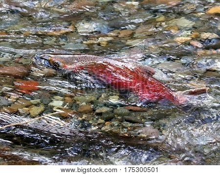 Spawning Coho Salmon Swimming in a Creek
