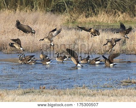 Cackling Geese at Landing in a Pond