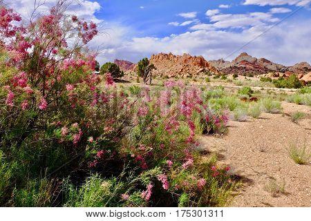 Tamarisk blooming in desert with pink flowers. Invasive plant Salt Cedar. Escalante National Monument. Moab. Utah. United States.