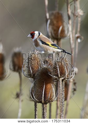 European goldfinch sitting on a branch with vegetation in the background