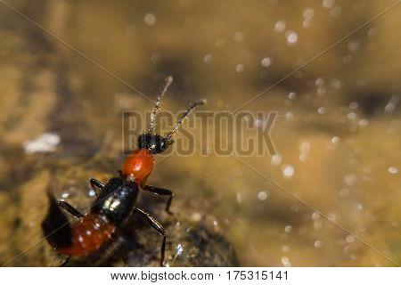 Insect Paederus riparius. Pederus-dermatitis - Allergic reaction to the blood type of beetles Paederus characterized by vesicular dermatitis