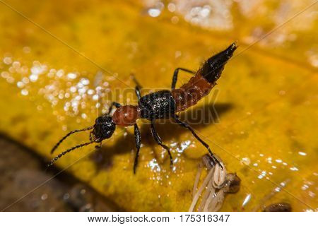 Insect Paederus riparius. Pederus-dermatitis - Allergic reaction to the blood type of beetles Paederus, characterized by vesicular dermatitis