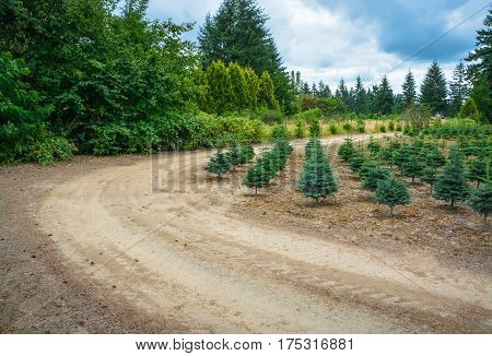 Planting stock of pine trees on tree farm