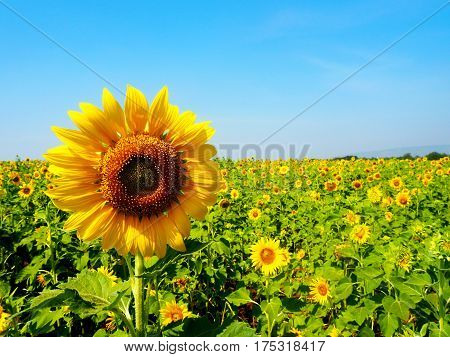 The Beutiful background from sunflower field .