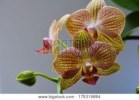 Orchid flower Phalaenopsis with red veins on a white background