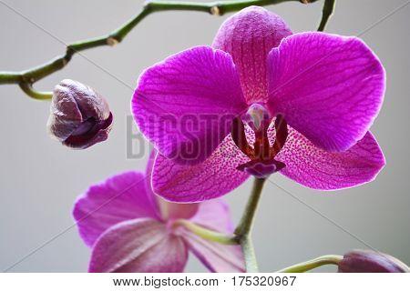 flower purple Orchid Phalaenopsis streaks on a white background