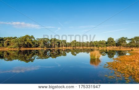 Scots pine trees and bulrush plants reflecting in the mirror-smooth surface of a fen in a Dutch nature on a sunny day in the fall season.