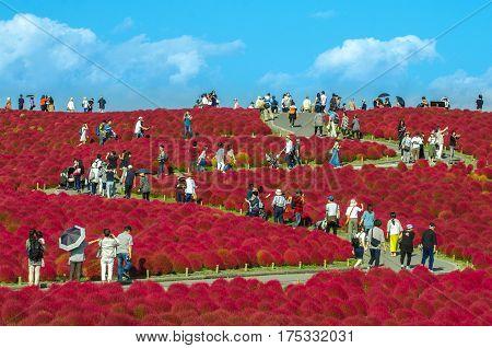 Beautiful Kochia In Garden Hitachi Seside Park