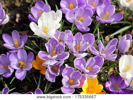 Beautiful purple crocuses (macro) in the spring time.