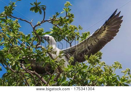 juvenile red footed booby learning how to fly