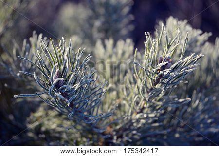 Hoarfrost on pine needles backlight close up
