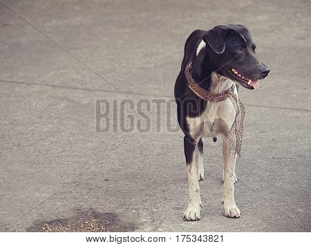 Standing charming dog with Leopard Skin Pattern collar with copy space