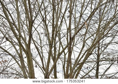Leafless tree branches against the sky. Environment. Outdoor