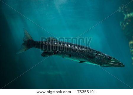 Great barracuda (Sphyraena barracuda), also known as the giant barracuda.