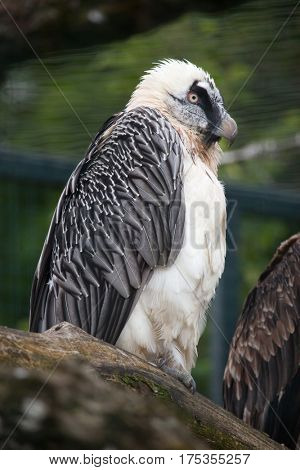 Bearded vulture (Gypaetus barbatus), also known as the lammergeyer.