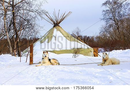 sled dogs puppy Siberian Husky on Kamchatka
