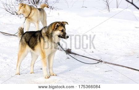 sled dog puppy Siberian Husky on Kamchatka