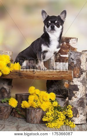 Chihuahua and spring dandelions