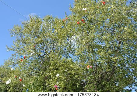 Multicolored balloons, released in May Day, entangled in branches of tall trees