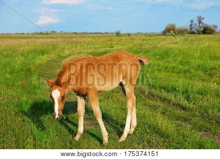 Little foal grazing in field