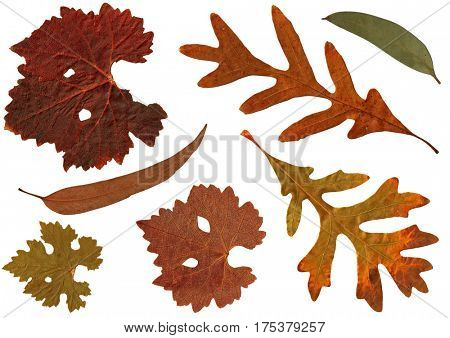 Dried yellow orange brown Autumn leaves of White Oak, Eucalyptus gum tree, Grape isolated on white background