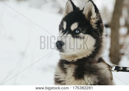 Winter landscape with pair of siberian husky malamute dogs posing outside in the woods.
