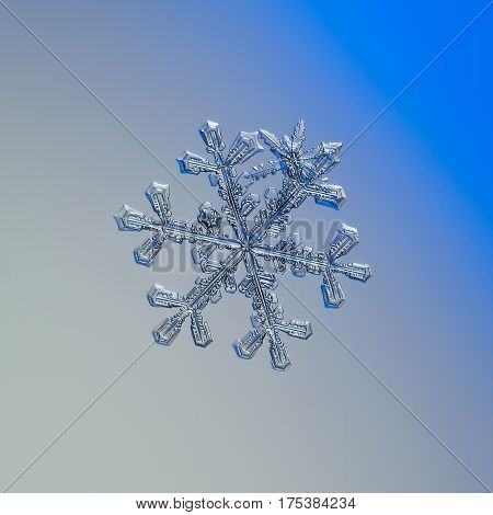 Macro photo of real snowflakes: flat cluster of large stellar dendrite and two small and simple snow crystals with glossy surface, glittering on smooth gray - blue gradient background in cold lighting.