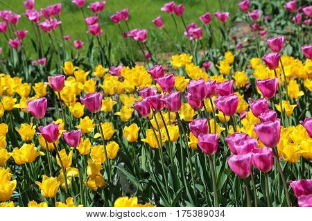 Beautiful bright tulips on a sunny day