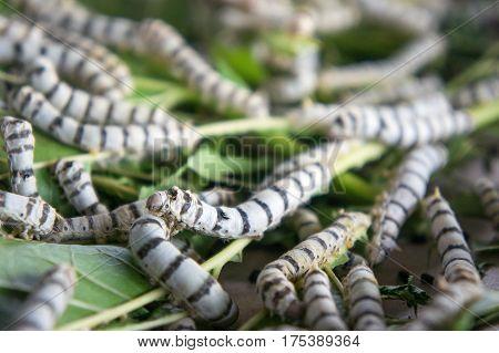 silk worm eating mulberry leaf (focus silk worm) worm larvae