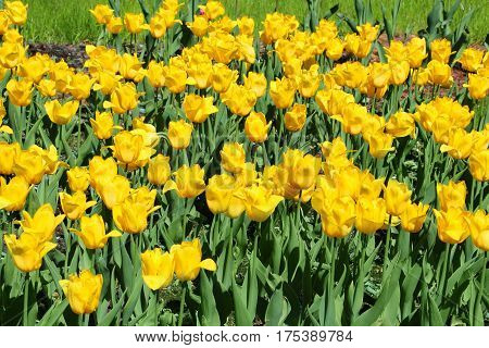 Close up of beautiful bright yellow tulips