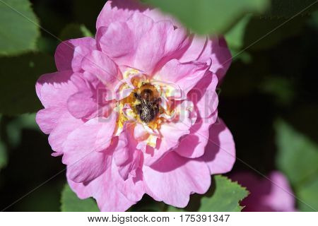 bee insect on dog rose pink flower on green leaves outdoor backround