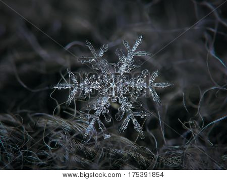 Macro photo of real snowflake: large snow crystal of stellar dendrite type (around 5 millimeters from tip to tip) with small , transparent central hexagon and long, ornate arms with side branches, tangled in fibers of dark gray woolen fabric.