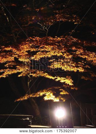 Beautiful Underlit Tree with Burnt Orange Autumn Leaves