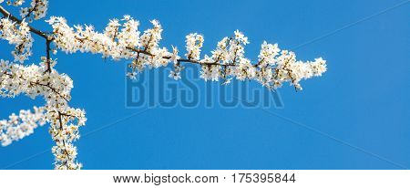 White tender blooming cherry brunch on the blue sky background.