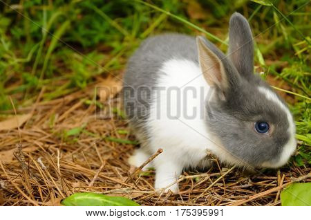 A gray and white rabbit walking around