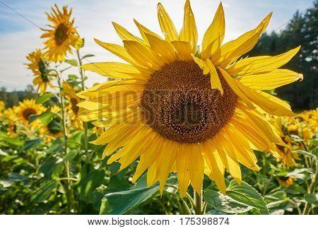 Sunny Summer Day On A Sunflower Field. Sun Shining  Behind A Big Yellow Sunflower.