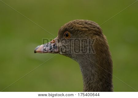 photographic portrait of a whistling duck with a green background