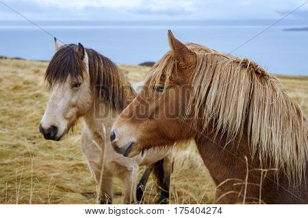Icelandic Horses in the North of Iceland. The Icelandic horse is a unique breed of smallish horses that came to Iceland with the first settlers from Norway 1100 years ago.