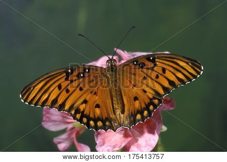 A Gulf Fritillary butterfly, Agraulis vanillae on a pink flower with a smooth green background