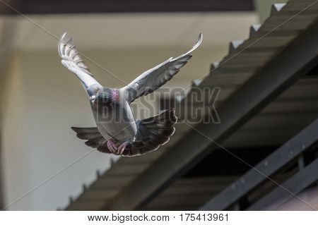 ose up of flying pigeon bird mid air