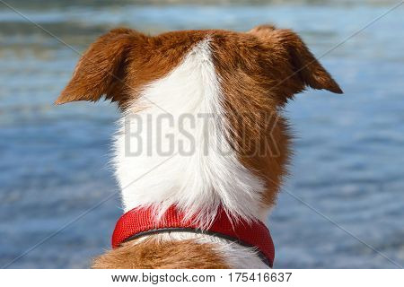 Dog with red collar looking at the blue sea
