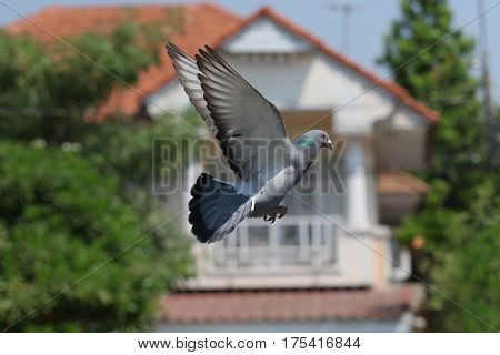 flying mid air of pigeon bird against green environment