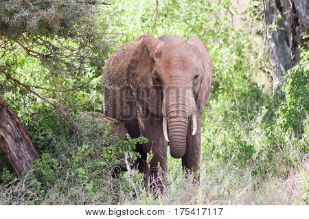 Young elephant walking in the savanna of West Tsavo Park in Kenya